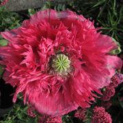 fiore papavero
