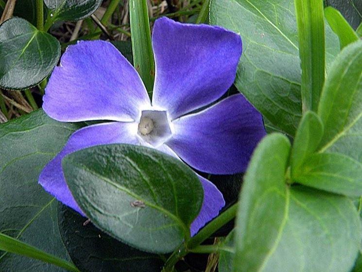 Il bellissimo fiore pervinca: in questa foto risalta in modo particolare il suo caratteristico colore.