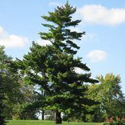 pino pianta
