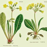 primule fiori