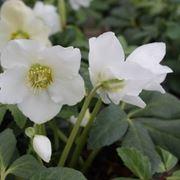 Esemplare di rosa di Natale dai fiori bianchi