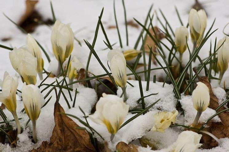 Rosa di Natale sotto la neve