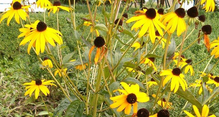 Rudbeckia piante perenni pianta rudbeckia for Bakker piante perenni