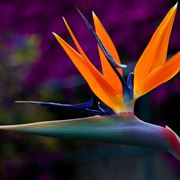 fiore strelitzia