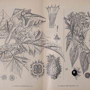 Disegno botanico di Datura Stramonium