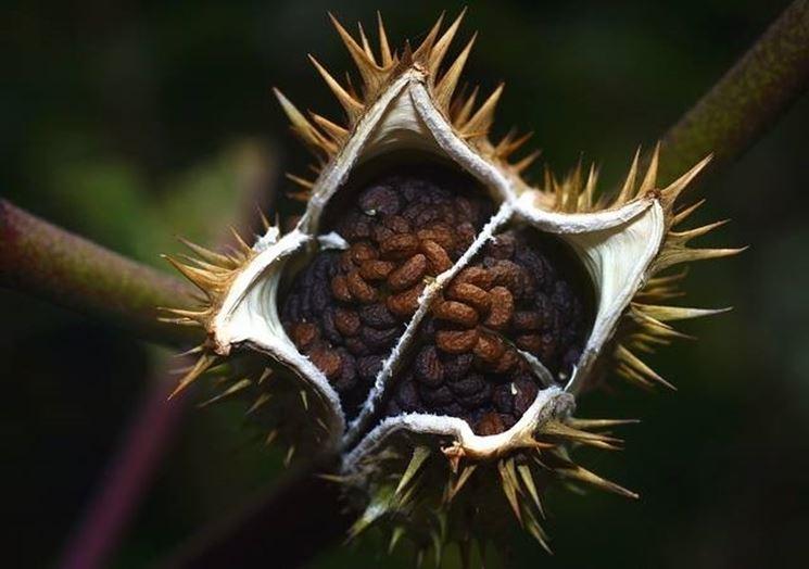 Frutto e semi di stramonio