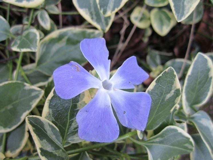 Fiore di vinca major