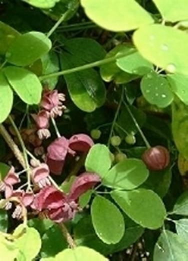 Akebia quinata2