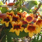 Bignonia (Campsis radicans)