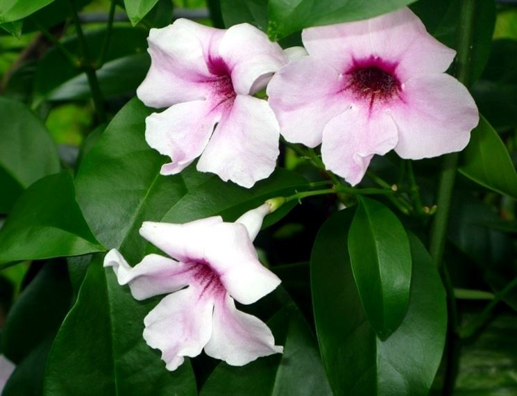 Bignonia jasminoides