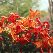 Bignonia pianta