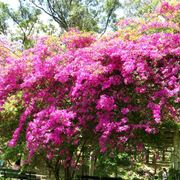 pianta bouganville