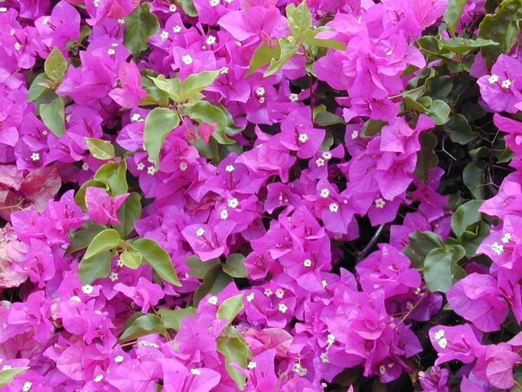 Bouganville potatura rampicanti come effettuare la for Bouganville fioritura