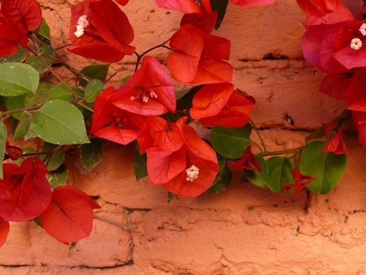 Bouganville a fiore rosso