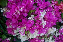 bouganville variegata