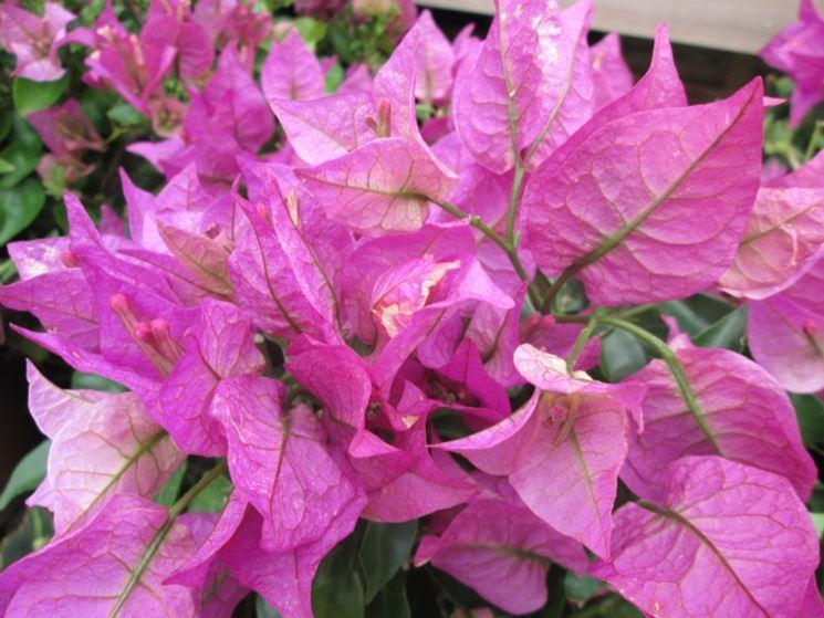Bouganville bougainvillea rampicanti caratteristiche for Bouganville fioritura