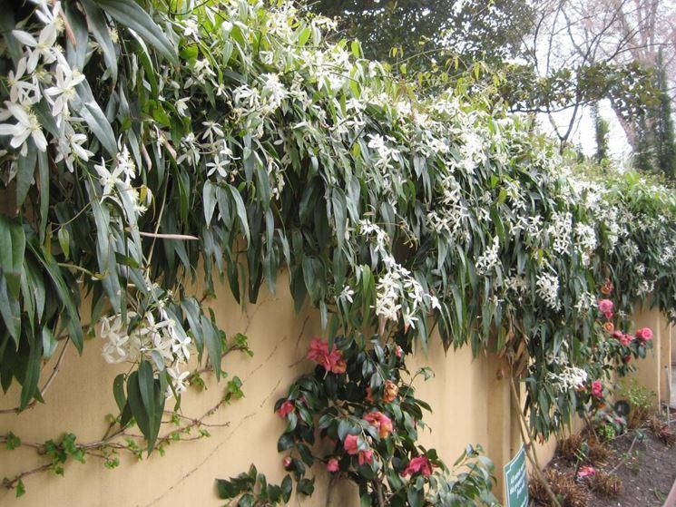 Clematis pianta