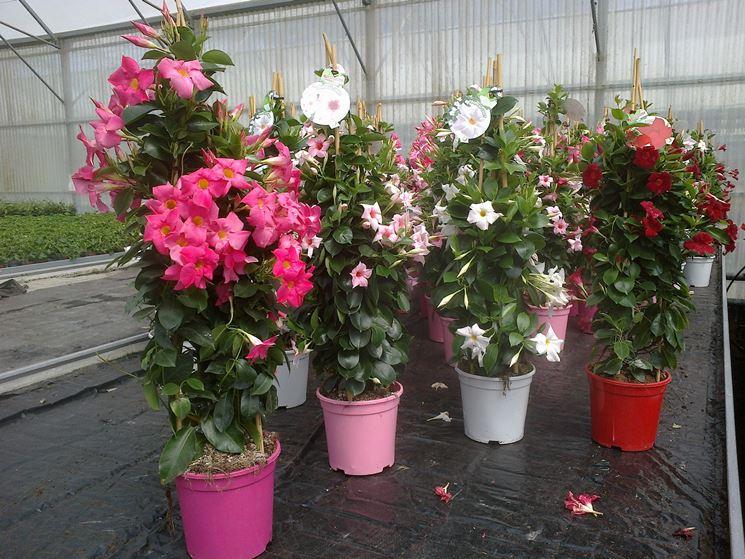 Dipladenia durante la fioritura