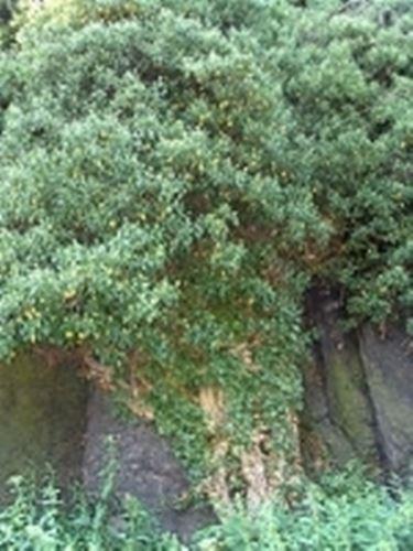 Edera (Hedera helix)