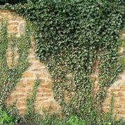 Varietà di edera rampicante