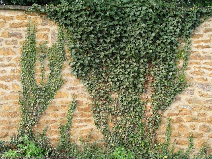 Variet� di edera rampicante