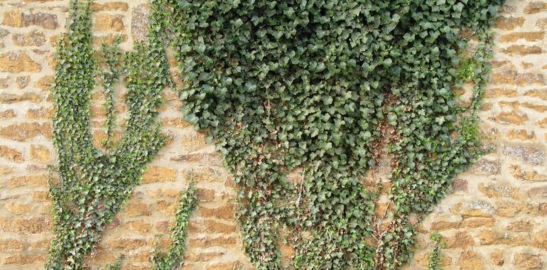 <h6>Edera rampicante</h6>Con una'edera rampicante potrai ottenere un'atmosfera magica anche nel tuo giardino.
