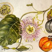 Passiflora: fiore e frutti