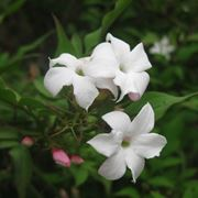 Gelsomino (Jasminum officinale)