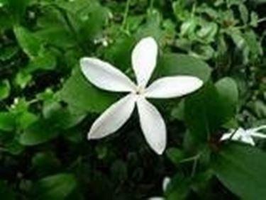Gelsomino (Jasminum polyanthum)