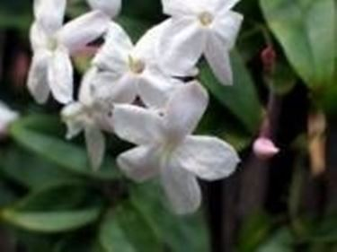 Gelsomino (Jasminum polyanthum)2
