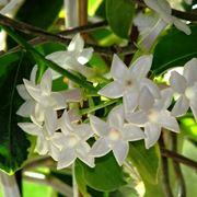 Rampicante Fiori Bianchi.Rampicanti A Fiore Bianco