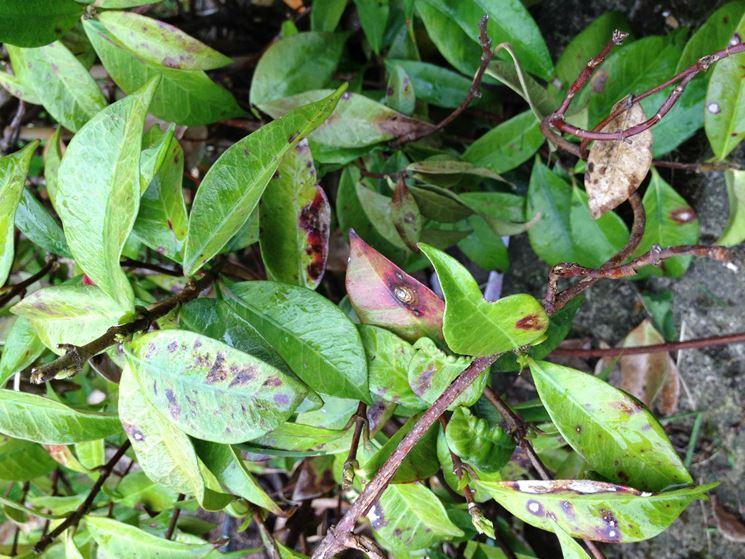 Malattia delle foglie del Gelsomino rampicante