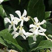 Gelsomino sempreverde (Trachelospermum jasminoides)2