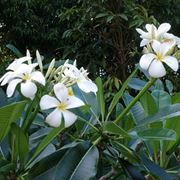 pianta di gelsomino