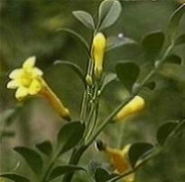 jasminum fruticans