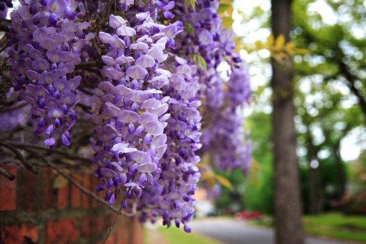 Glicine fiori