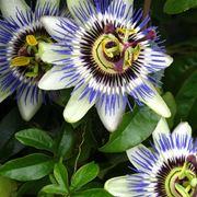 passiflora immagini