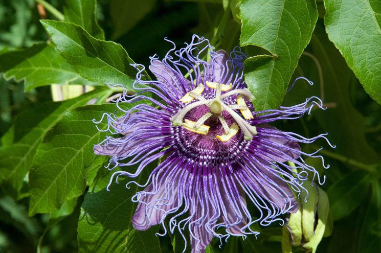Esemplare di Passiflora
