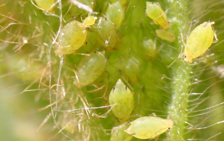 Afidi pianta