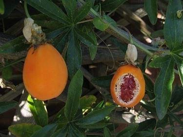 frutto passiflora