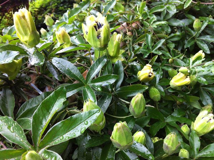 passiflora pianta