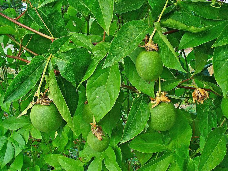 Frutti passiflora