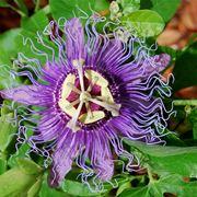 Fiore della passiflora rampicante