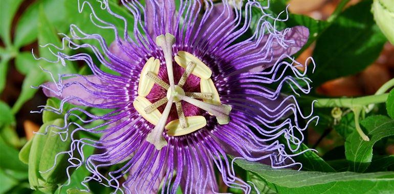 <h6>Passiflora rampicante</h6>La passiflora rampicante, con i suoi fiori colorati, render� pi� bello il vostro giardino: scoprite con noi come coltivarla.