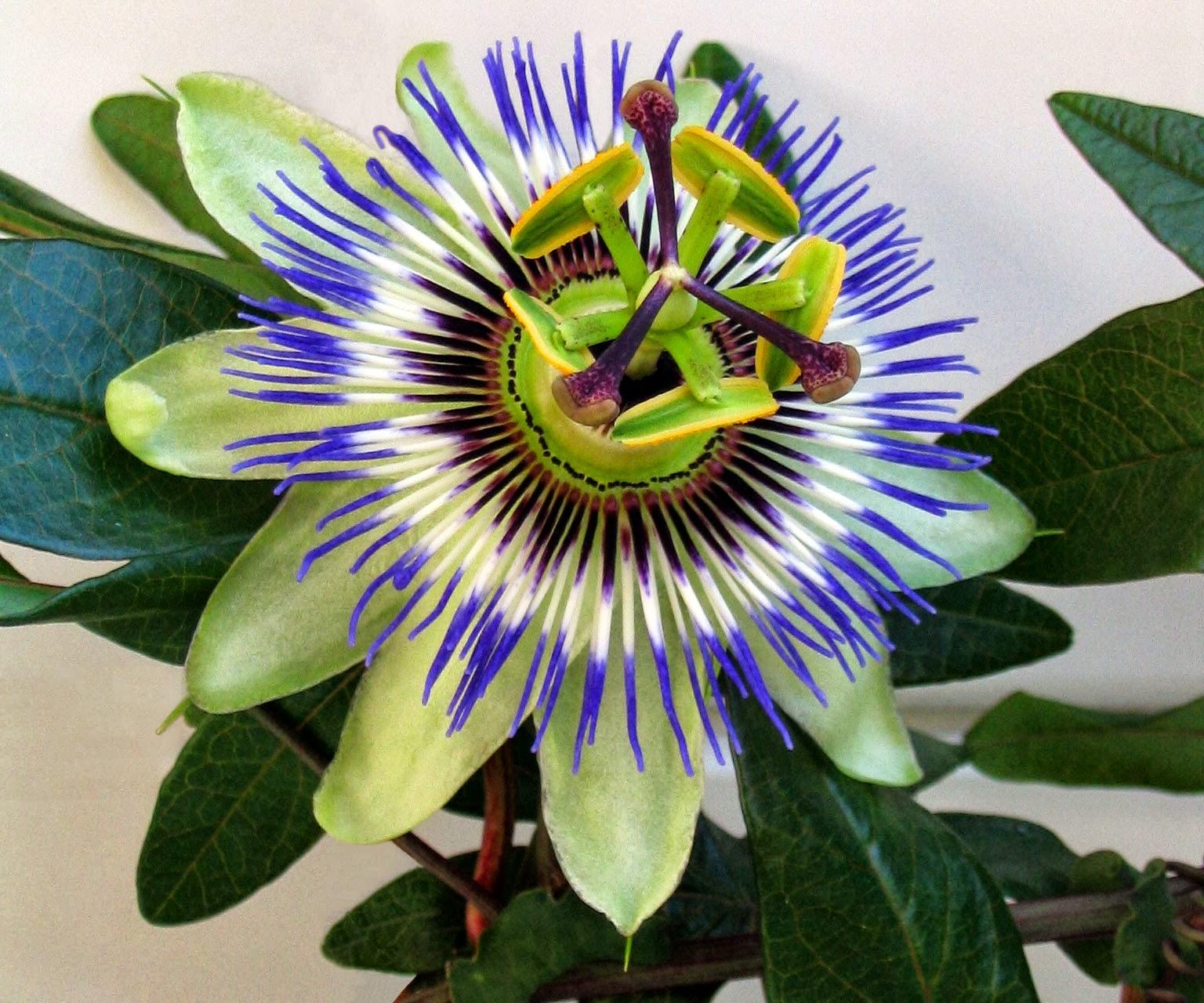 passiflora passiflora caerulea rampicanti passiflora fiore della passione. Black Bedroom Furniture Sets. Home Design Ideas