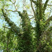 Albero rivestito di edera