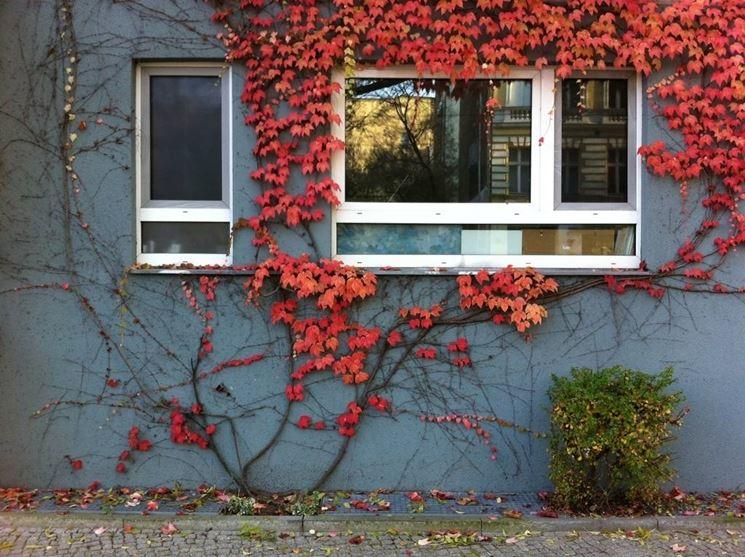 Edera rossa che cresce lungo il muro di un edificio