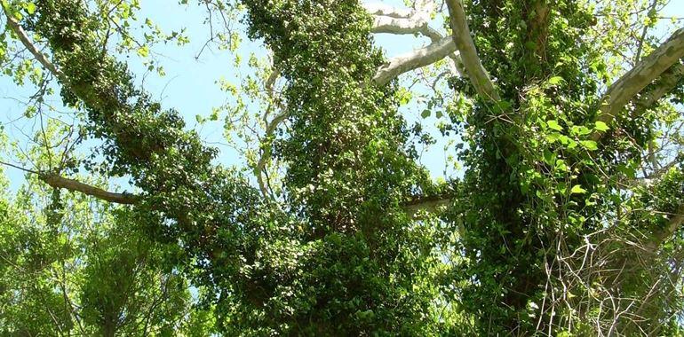 <h6>Pianta di edera</h6>L'edera � la pianta rampicante per eccellenza: scopri come farla crescere sana e rigogliosa nel tuo giardino