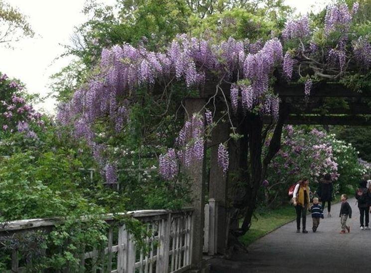 Immagine di un giardino ornamentato da una grande fioritura di Glicine arrampicatosi su travi di pietra