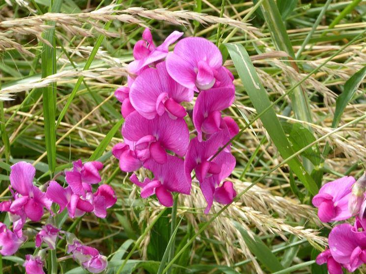 Fiore pisello odoroso